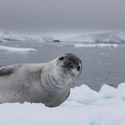 CTI Antarctica-Leopard Seal