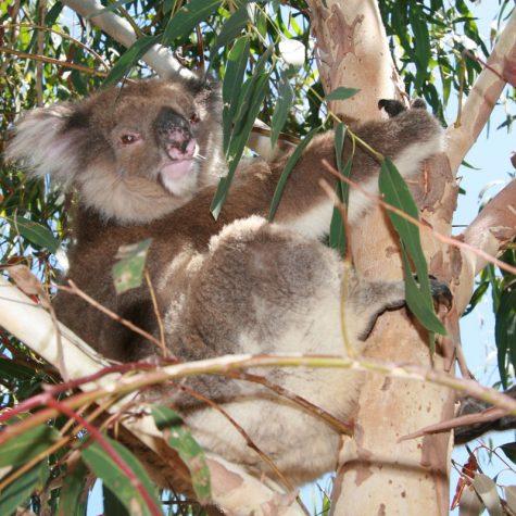CTI Australia-Koala