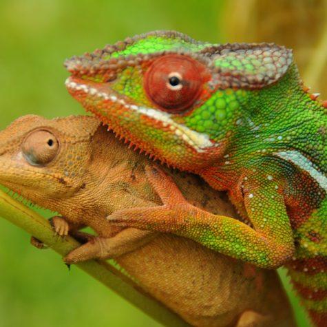 CTI Madagascar-Chameleons