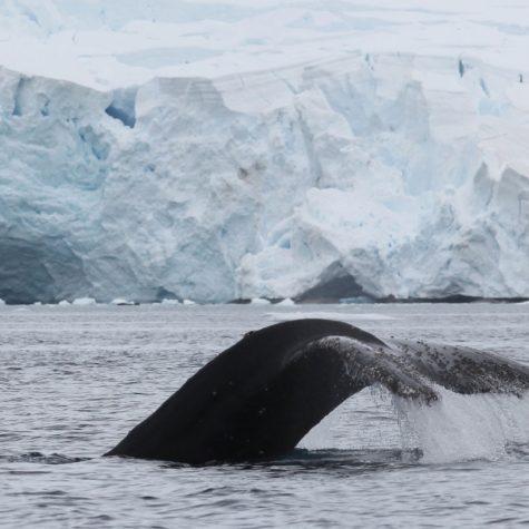 CTI Antarctica-Humpback Whale
