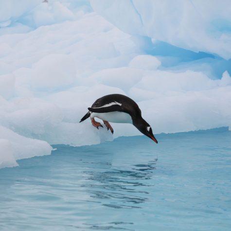 CTI Antarctica-Gentoo Penguin