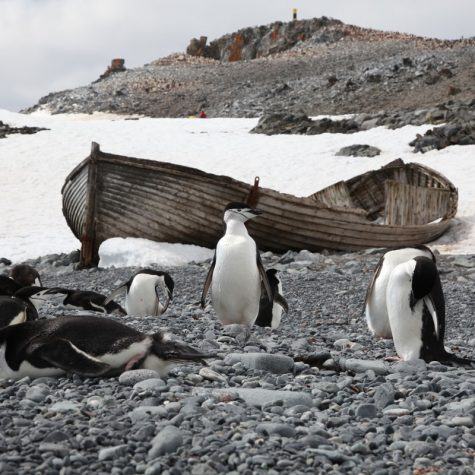 CTI Antarctica-Chinstrap Penguins-Half Moon Island