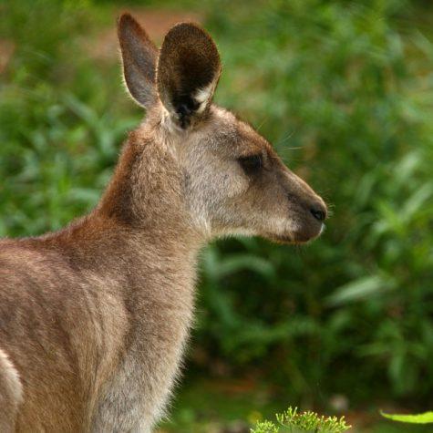 CTI Australia-Kangaroo
