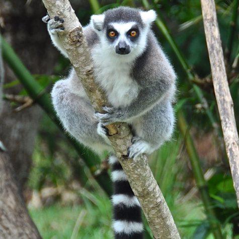 CTI Madagaskar-Lemuriformers