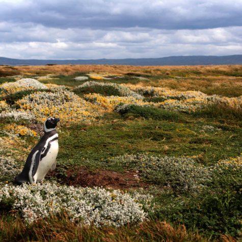 CTI  Chile-Punta Arenas-Magellanic Penguin
