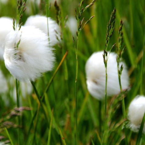 CTI Greenland-Cotton gras